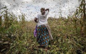 locusts2_Kenya.jpg
