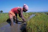 Haiti rice farmer