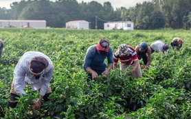 Hocutt Farms workers harvesting chilies in field_edit.jpg