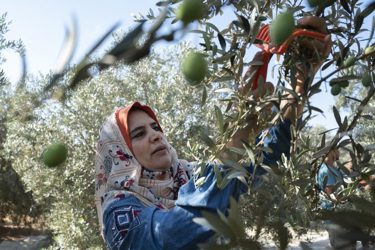 OGB_119705_Nuha harvests olives.jpg
